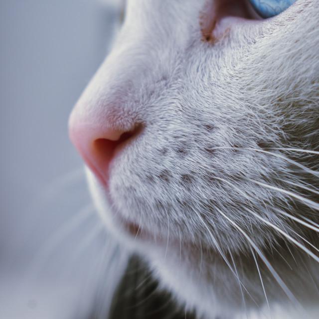 """White heterochromatic cat"" stock image"