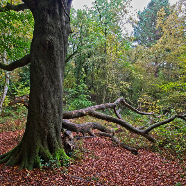 """""""Autumn in Thornley Woods"""" stock image"""