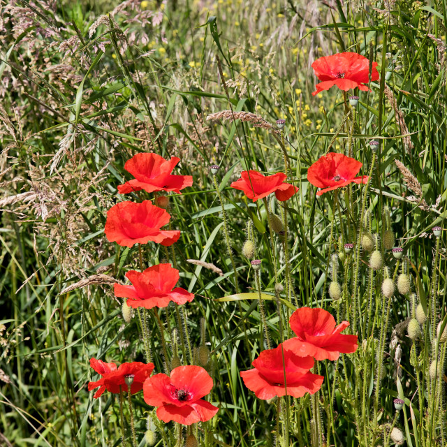 """Blood-red Poppy growing wild"" stock image"