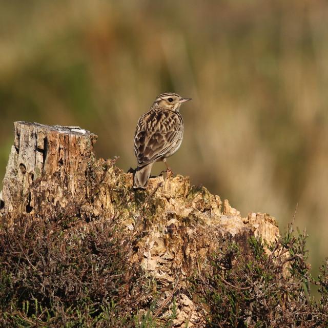 """Woodlark, Lullula arborea on song perch, tree stump"" stock image"