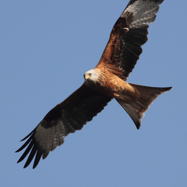 """""""Red Kite in flight against a clear blue sky"""" stock image"""
