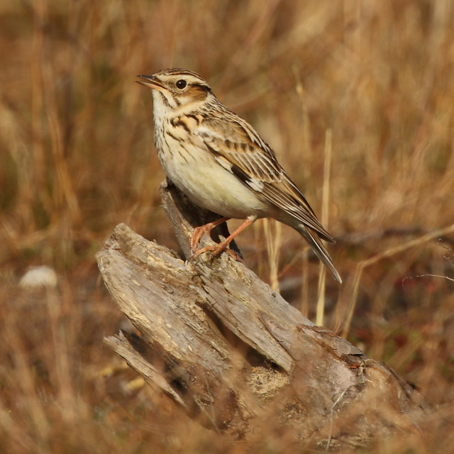 """Woodlark, Lullula arborea on song perch, tree stump at an english heathland in spring"" stock image"