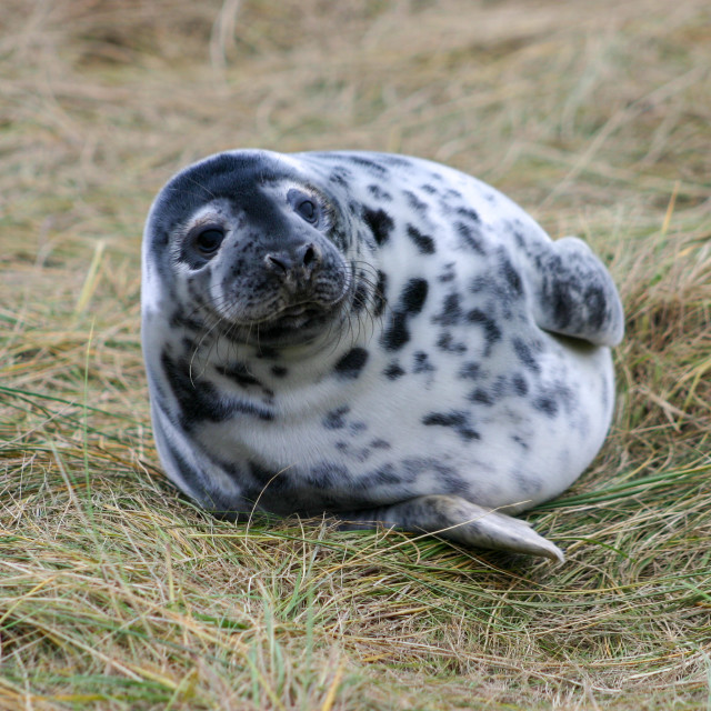 """""""Grey Seal Pup lying on some grass"""" stock image"""