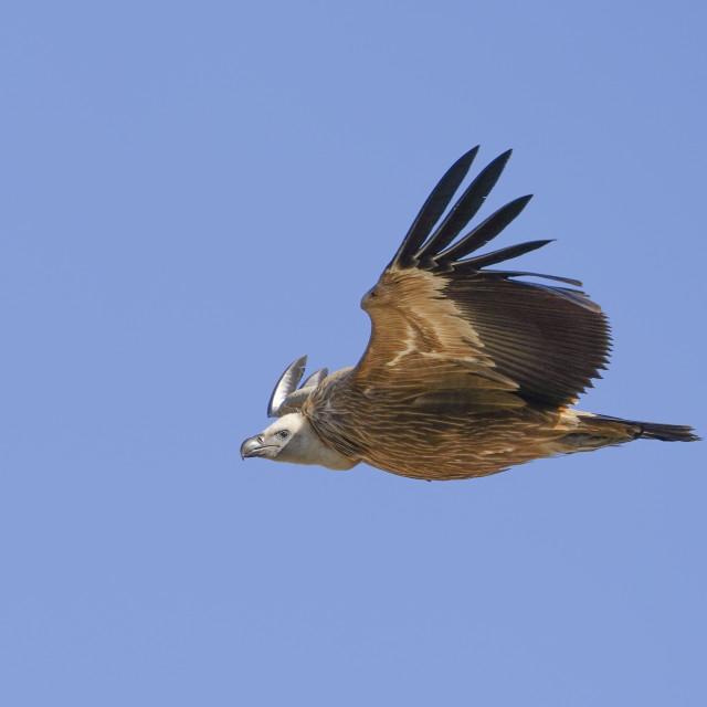 """Griffon vulture (gyps fulvus) flying"" stock image"