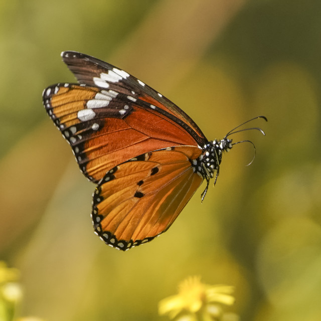 """Plain tiger (Danaus chrysippus) in flight"" stock image"