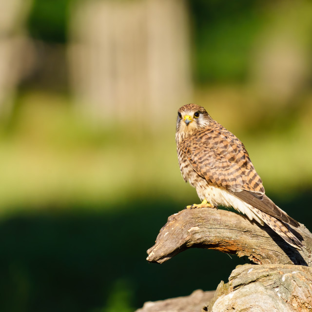 """""""Common Kestrel (Falco tinnunculus) female perched on a log looking back to..."""" stock image"""