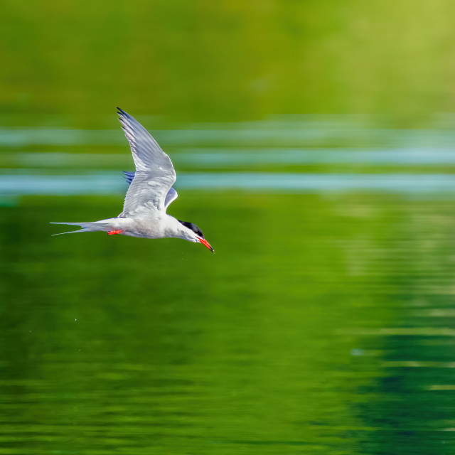 """""""Common Tern (Sterna hirundo) in flight against bright green reflections on a..."""" stock image"""