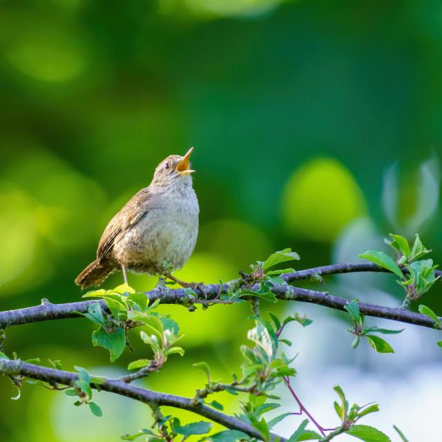 """""""Wren (Troglodytes troglodytes) singing in early morning spring light, taken..."""" stock image"""