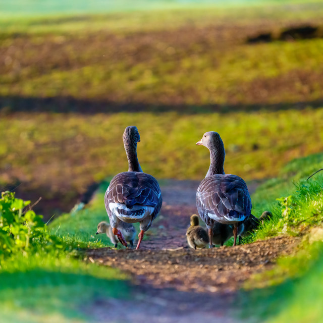 """Greylag Goose (Anser anser) family walking a long a path, taken in London,..."" stock image"