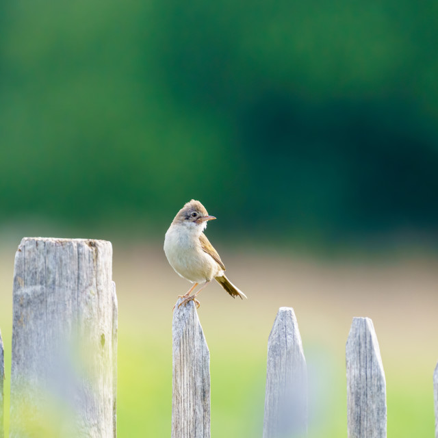 """""""Common Whitethroat (Sylvia communis) male on a fence looking back over it's..."""" stock image"""