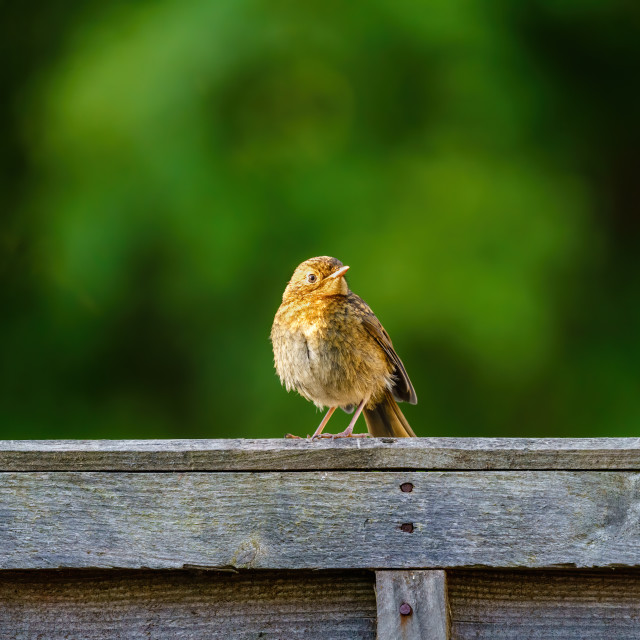 """""""European Robin (Erithacus rubecula) juvenile parched on wooden fence, taken..."""" stock image"""