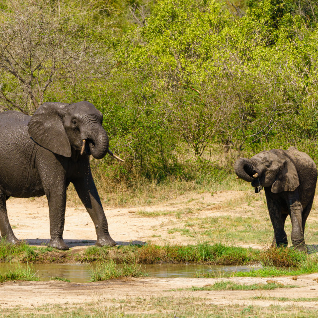 """""""African Elephant (Loxodonta africana) baby and adult having a drink from a..."""" stock image"""