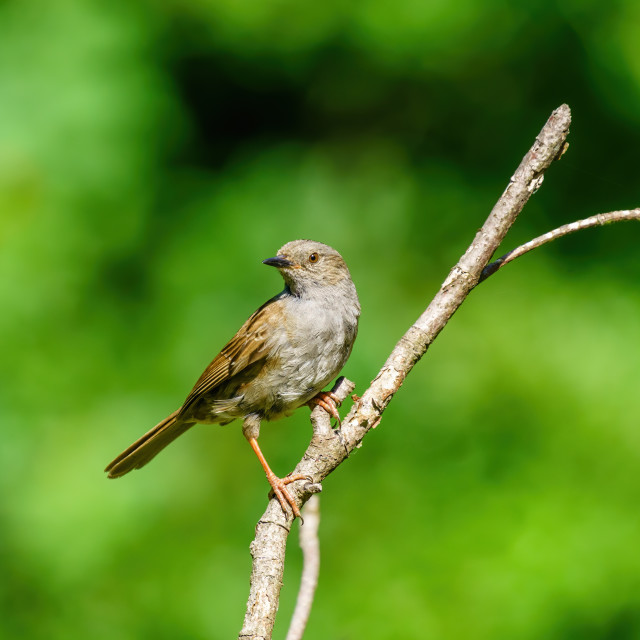 """""""Portrait of a Dunnock (Prunella modularis) perched on an isolated branch,..."""" stock image"""