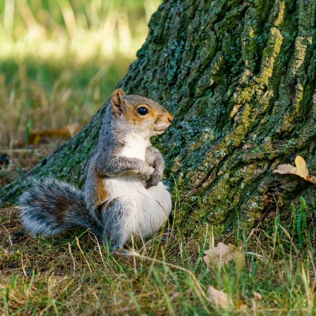 """Young Gray Squirrel (Sciurus carolinensis) sitting on is rear, taken in..."" stock image"