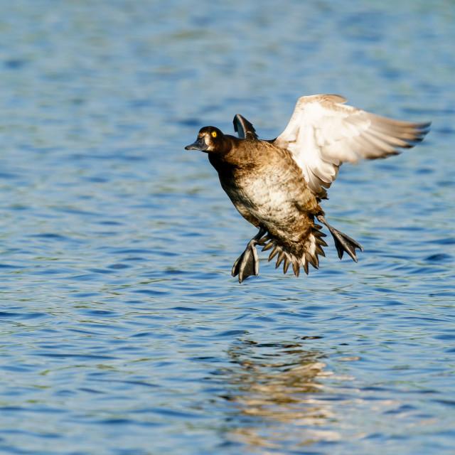 """""""Tufted Duck (Aythya fuligula) female in flight shortly before landing, taken..."""" stock image"""