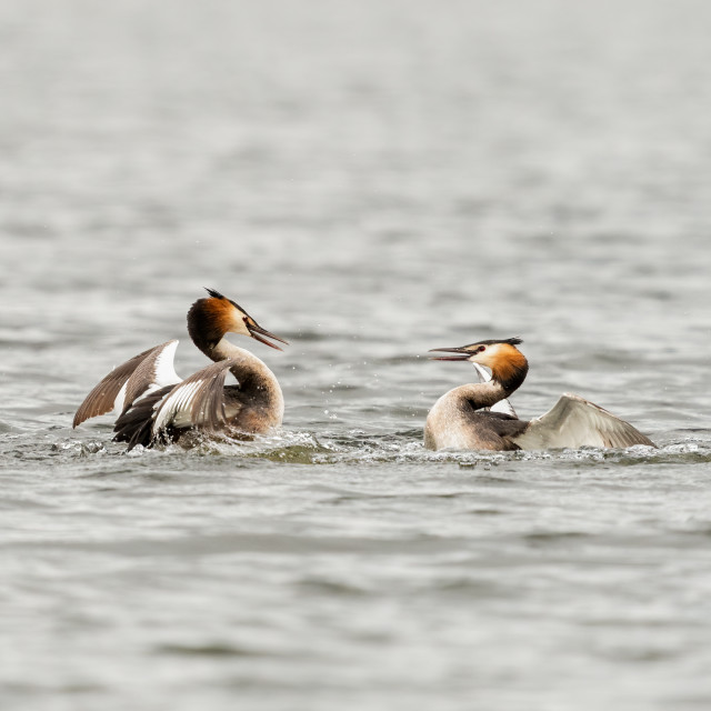 """""""Great Crested Grebe (Podiceps cristatus) sizing each other up, ready for a..."""" stock image"""