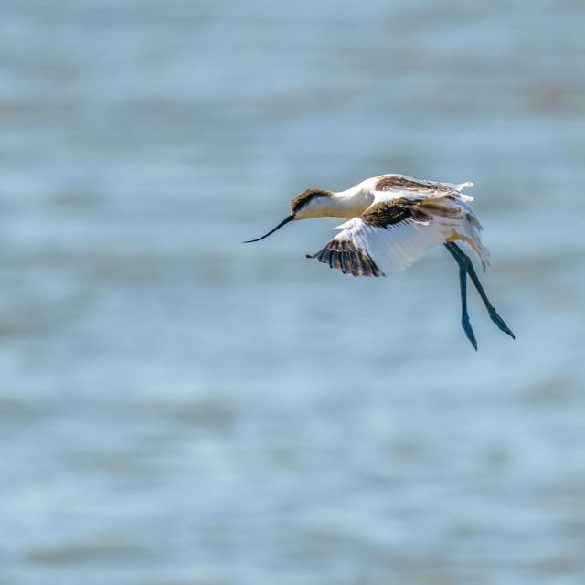 """Pied Avocet (Recurvirostra avosetta) in flight with it's legs down for..."" stock image"