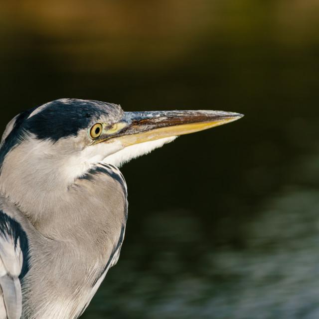 """Grey Heron (Ardea cinerea) portrait looking out over a lake, taken in West..."" stock image"