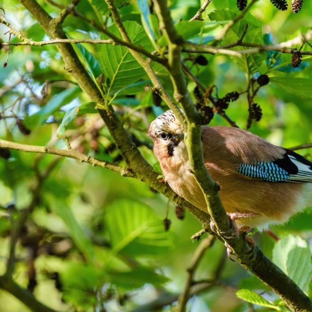 """""""Eurasian Jay (Garrulus glandarius) looking for food on a tree branch, taken..."""" stock image"""