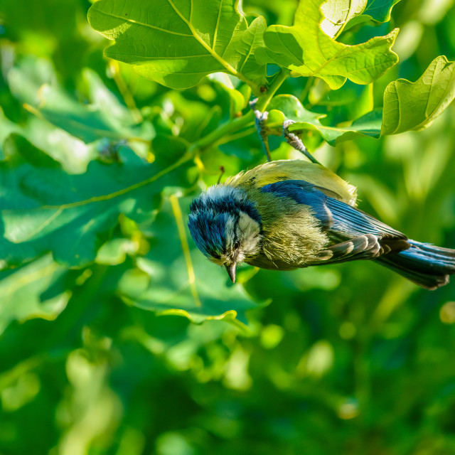 """""""Blue Tit (Cyanistes caeruleus) dangling from a leaf, in West London"""" stock image"""