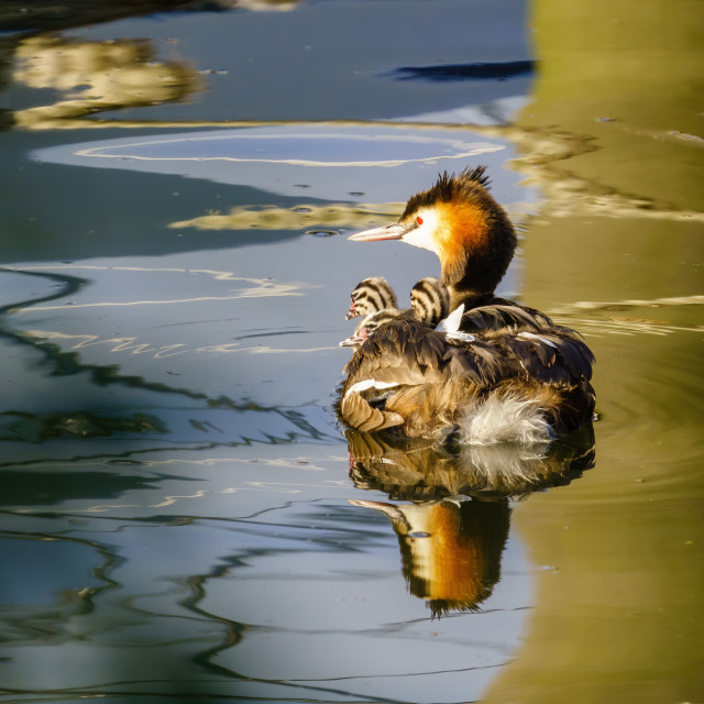"""""""Great Crested Grebe (Podiceps cristatus) with three chicks riding on it's..."""" stock image"""
