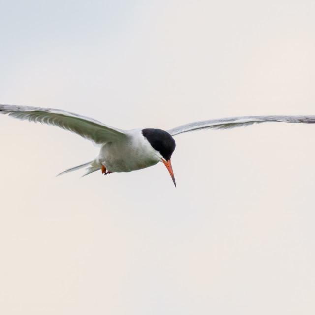 """Common Tern (Sterna hirundo) in flight on an overcast day, London, UK"" stock image"