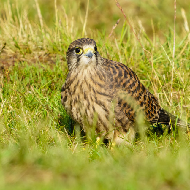 """""""Juvenile Common Kestrel (Falco Tinnunculus) forraging on the ground for food,..."""" stock image"""