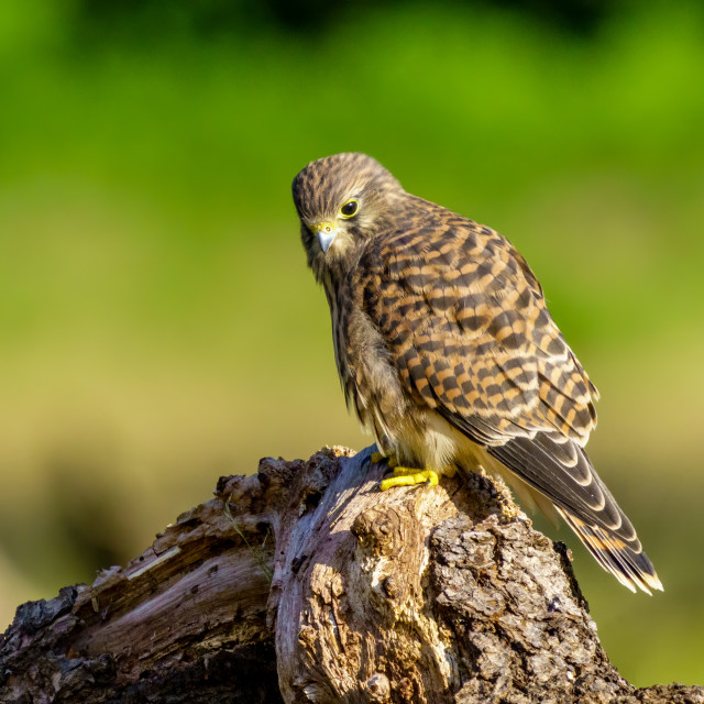 """""""Common Kestrel (Falco Tinnunculus) juvenile perched on top of a log, taken in..."""" stock image"""