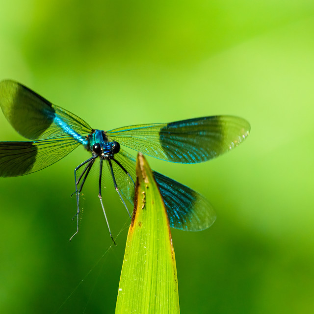"""""""Banded Demoiselle (Calopteryx splendens) in flight, about to land on a leaf,..."""" stock image"""