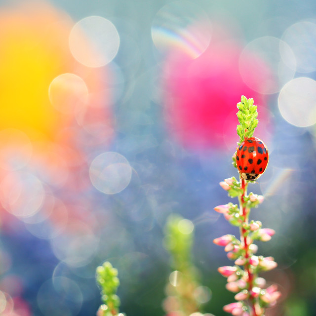"""A little ladybug walks through the flowers in my garden"" stock image"