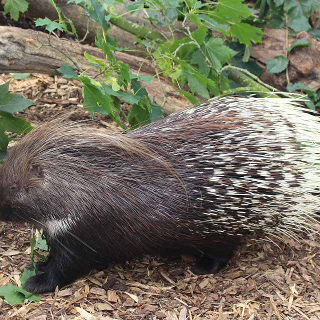"""""""Indian Porcupine"""" stock image"""