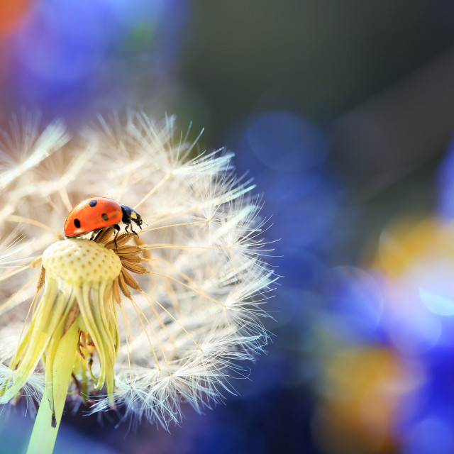 """A little ladybug is walking through the flowers in my garden looking for food"" stock image"