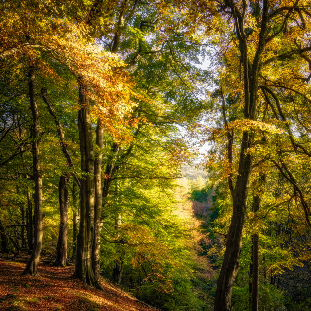 """Beech Trees in Strikes Wood"" stock image"