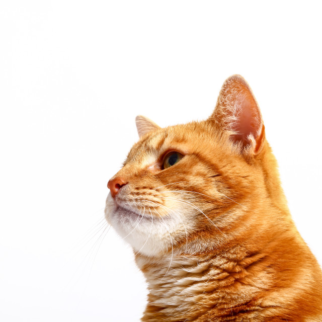 """""""Ginger tabby cat looking sideways on a plain white background"""" stock image"""