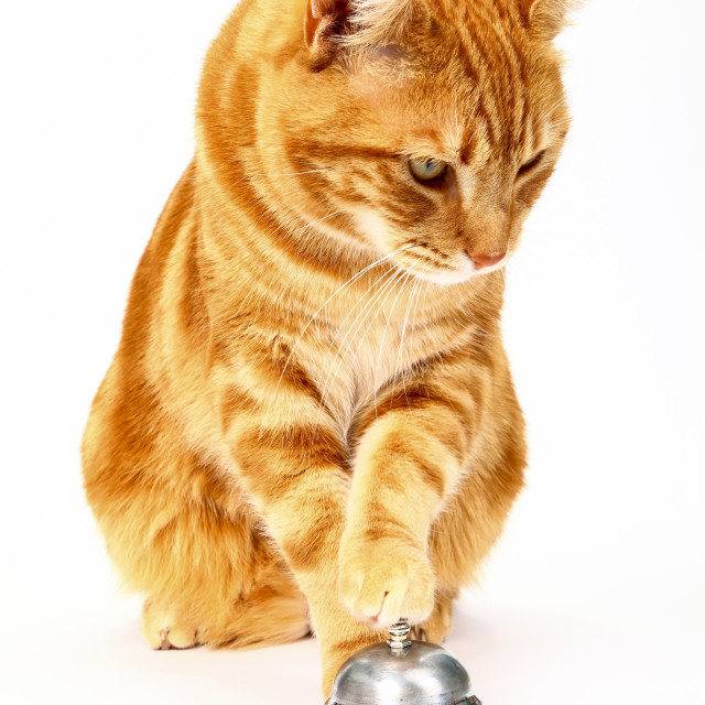 """""""Ginger tabby cat ringing a service bell for attention isolated on a white background"""" stock image"""