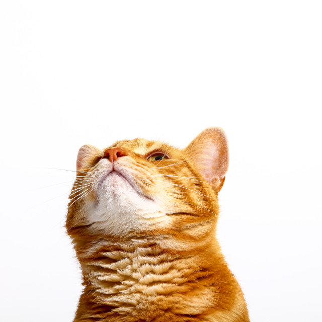 """""""Ginger tabby cat looking upwards on a plain white background"""" stock image"""