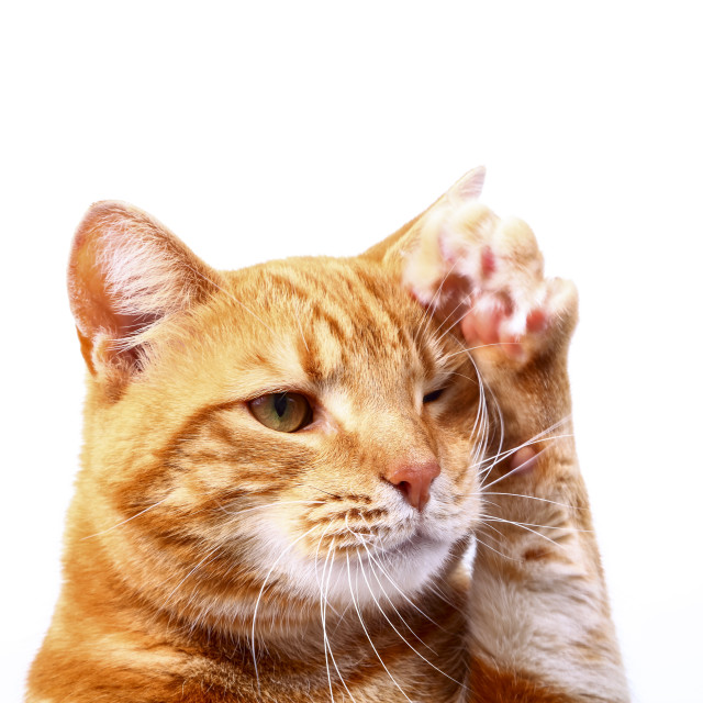 """""""Ginger tabby cat with raised paw waving on a plain white background"""" stock image"""