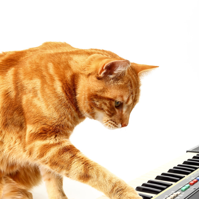 """""""Ginger tabby cat playing a piano keyboard isolated on a white background"""" stock image"""