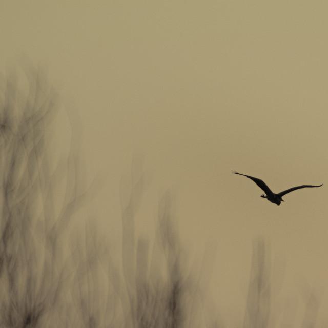 """""""Heron flying in Hakodate, Hokkaido"""" stock image"""