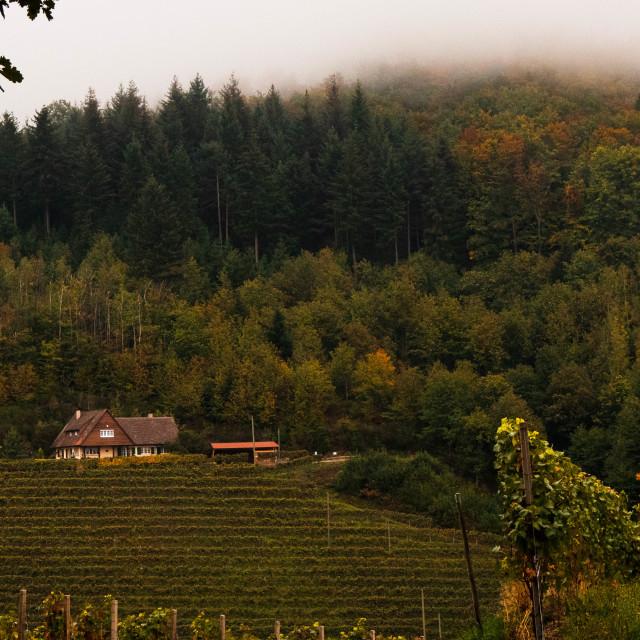 """""""Foggy Vineyards"""" stock image"""