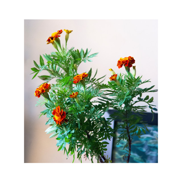 """Marigolds give me joy"" stock image"