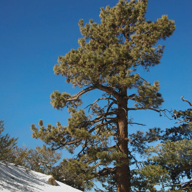 """""""Spruce tree against a deep blue sky with fresh snow"""" stock image"""