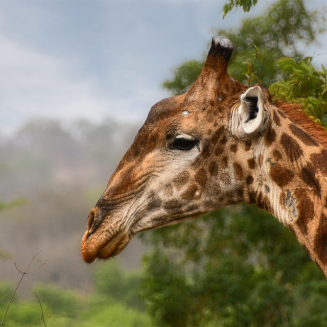 """Giraffe in Kruger NP"" stock image"