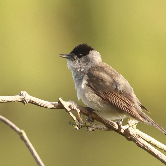 """Male Blackcap. Warbler on song perch in springtime"" stock image"