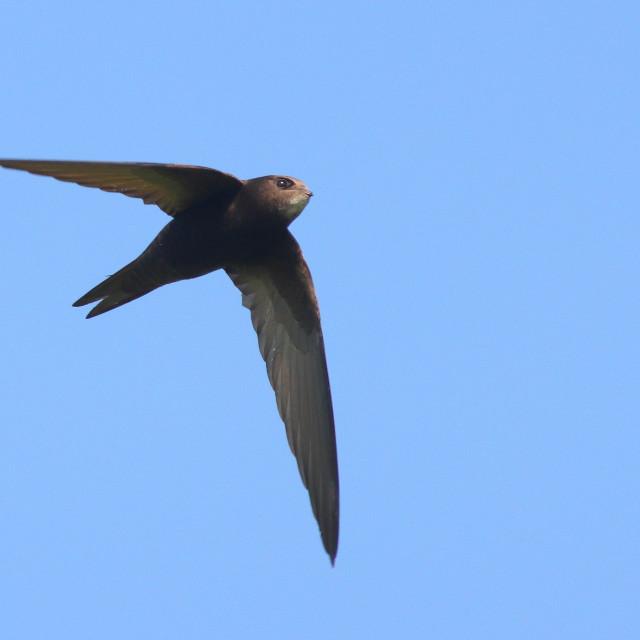 """Eurasian or Common Swift, Apus apus in flight"" stock image"