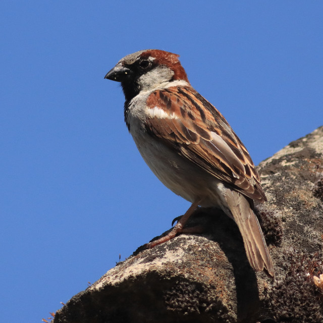 """""""Male House Sparrow Passer domesticus"""" stock image"""