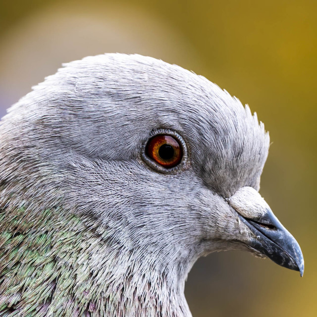 """A pigeon from The River Cam, Cambridge UK."" stock image"