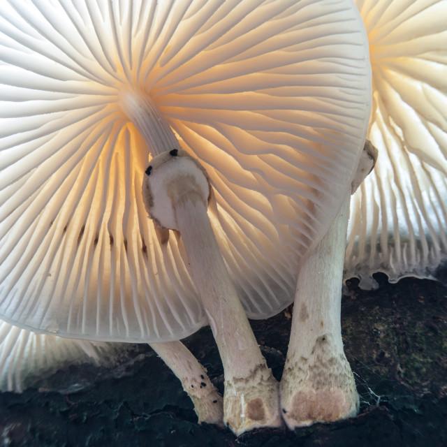 """Porcelain Fungus"" stock image"