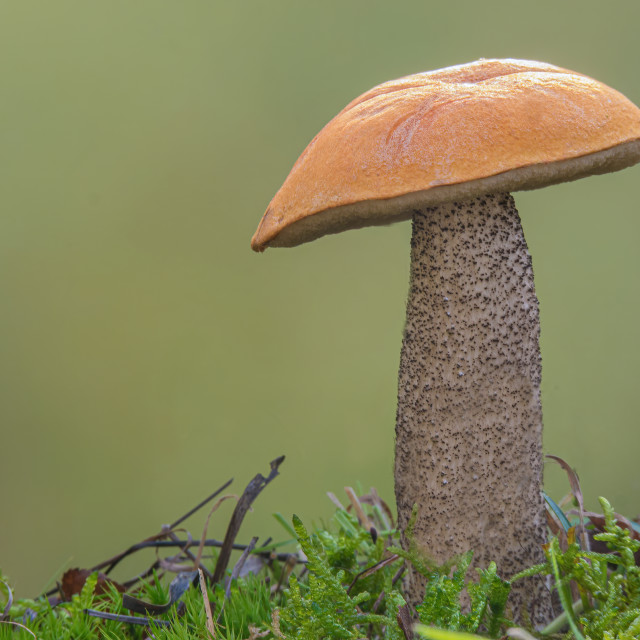 """Orange Birch Bolete"" stock image"