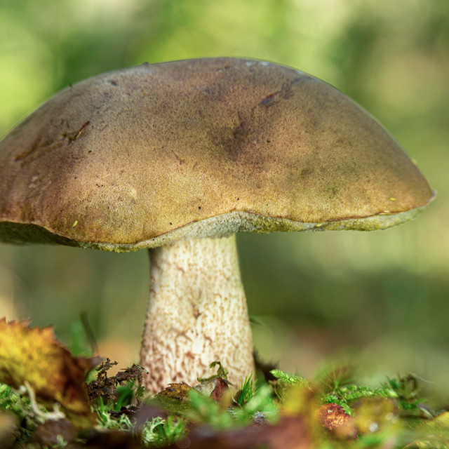 """Leccinum cyaneobasileucum"" stock image"